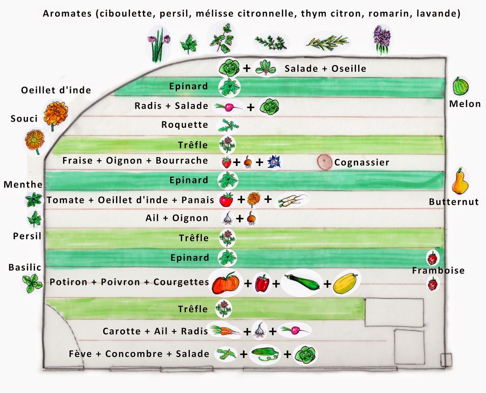 Association des cultures et plantes plantes semences - Association des legumes au potager ...
