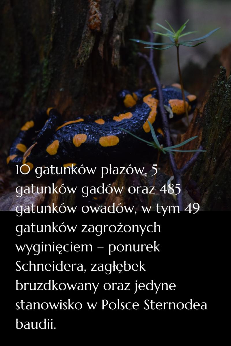 10 gatunków płazów, 5 gatunków gadów oraz 485 gatunków owadów, w tym 49 gatunków zagrożonych wyginięciem – ponurek Schneidera, zagłębek bruzdkowany oraz jedyne stanowisko w Polsce Sternodea baudii.